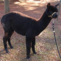 Alpacas in California FOR SALE